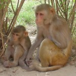 Rhesus_Macaques_-_cropped